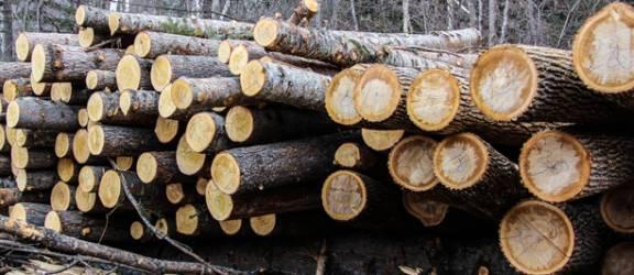 Cumpărătorii japonezi întrețin tăierile ilegale de lemn din pădurile virgine ale României
